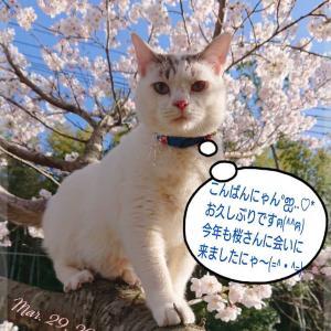 僕、桜さんに会ってきたにゃん(*´ω`*)💕