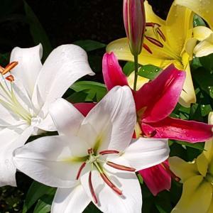 百合が続々開花していた