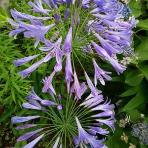 アガパンサスが開花、百合はもう終わり?