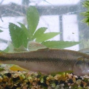 我が家の水槽は自然に生息している魚たち