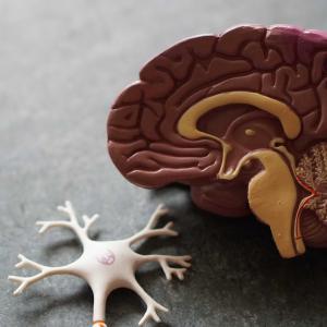 サクセンダ3.0mgで、右脳が変化する。