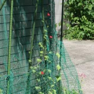 羽衣縷紅草