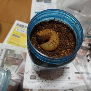 カブトムシ土の上で蛹になる。人工蛹室をトイレットペーパーの芯で手作りしてみた