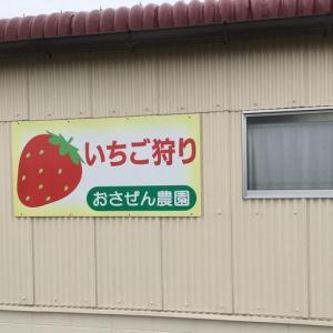 【京都】いちご狩り☆当日申し込みOK♪おさぜん農園