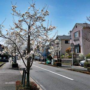 我が街の桜開花は?