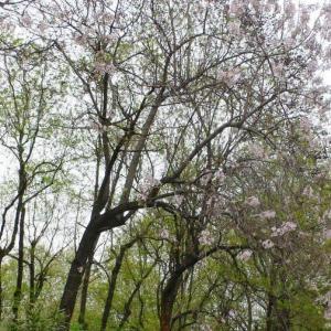 2008年 中国・南京は桐の花があちこちで見れる