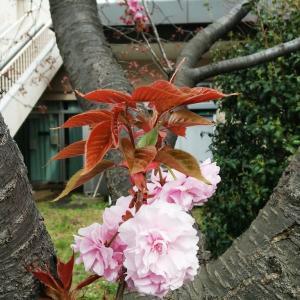 櫻にうぐいす