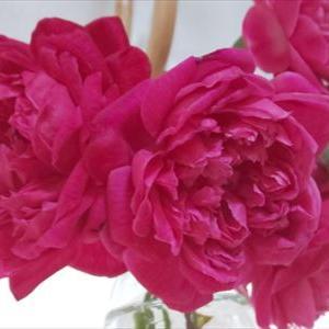 バラの 香りに 癒されて