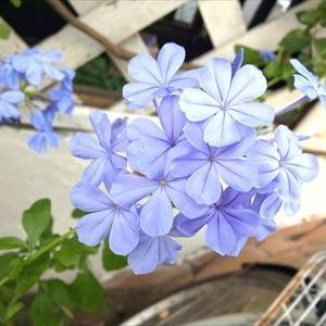 青い花の お茶