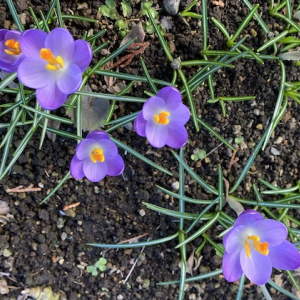 庭のクロッカスが咲き始めた ♪