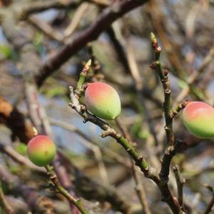 可憐な梅の実…さて花は何色だったっけ?