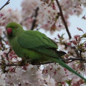 桜の花を食べるワカケホンセイインコ…