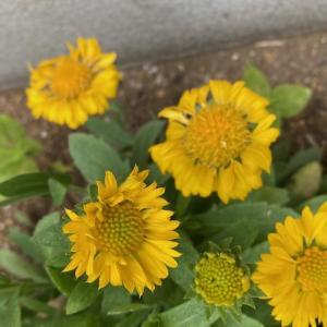花の名前は難しい:ルドベキア…かも?