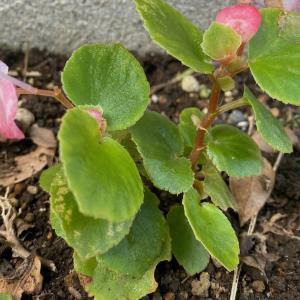 花壇の隅に突然咲いたベゴニア、どこから来たのか…(^^)?