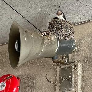 ツバメのヒナの写真、もうすぐ巣立ちかな?♪