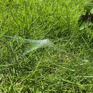 芝生に面白い形の蜘蛛の巣…蜘蛛の種類が分からない…