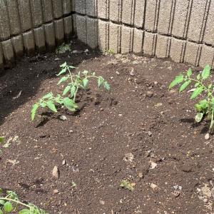 ミニトマトの挿し木(挿し芽?)をしてみた