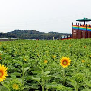 【ヒマワリ開花状況7/1】開花宣言!大任町花公園のひまわりが咲き始めました♪例年より1週間くらい早い開花になりました