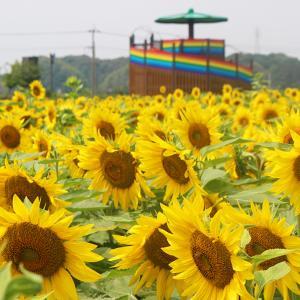 【7/8ひまわり開花状況】8割くらい開花。大任町花公園に121万本のヒマワリが咲き乱れる!展望台からもひまわり畑が一望できます!