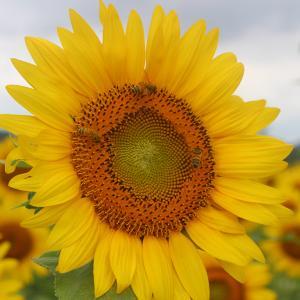 【7/12ひまわり開花状況】9割くらい開花。今週末、大任町花公園で展望台から12万本のヒマワリ畑を見てみませんか?
