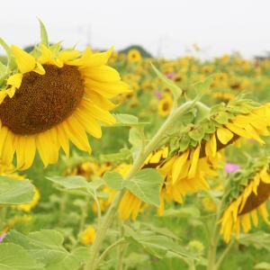 【7/17ひまわり開花状況】ピークを越えています。大任町花公園のヒマワリ畑は今週末が最後の見頃になります。