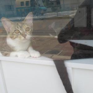 白黒子猫ちゃん、膝乗り/錆三毛ちゃん(母)、白黒ちゃん(娘)、腰トントン、擦り擦り