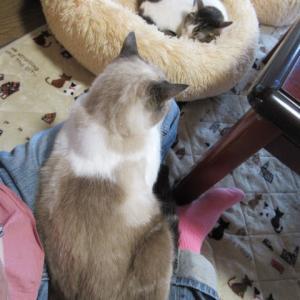 成猫3頭が膝乗り/新たに保護された生後4週間の5兄妹