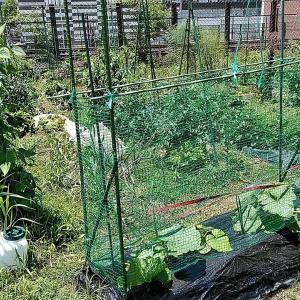 今日の第2菜園