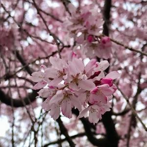 葵祭の行列も中止となりました。