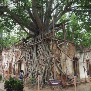 菩提樹に支えられしは古寺院 ワット・サンクラターイ @ アーントーン