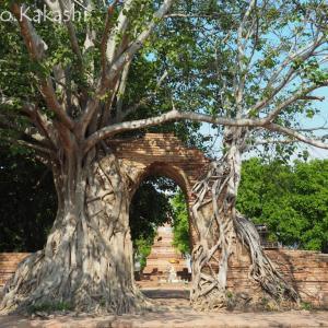 放棄された廃墟寺院シリーズ5 ワット・プラガーム @ 北アユタヤ