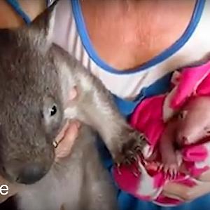 産まれてすぐ保護された赤ちゃんウォンバットがすくすく成長していく姿にほっこり!