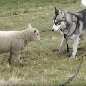 ハスキーと友達になった羊、ハスキーが現れると興奮してタックルして遊び始めちゃう!