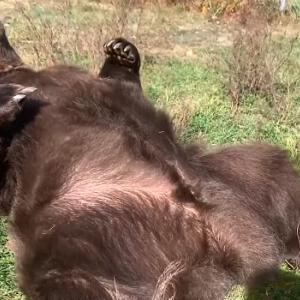 お腹を見せて草の布団に寝転がるヒグマ、人間にナデナデ、モフモフされて凄く気持ちよさそう♪
