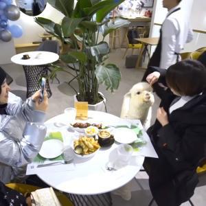 中国・瀋陽市に赤ちゃんアルパカと触れ合えるカフェがあると話題