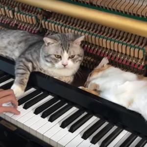 ピアノの鍵盤のそばで気持ち良さそうに寝ている猫ちゃん達が可愛い!