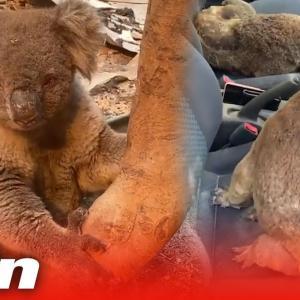 車をコアラ一杯にして森林火災の焼け跡からコアラを救出した若者に賞賛の声