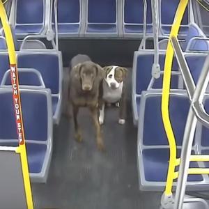-6℃の夜、路頭に迷う2匹のピットブルを救ったバス運転手さんにほっこり!