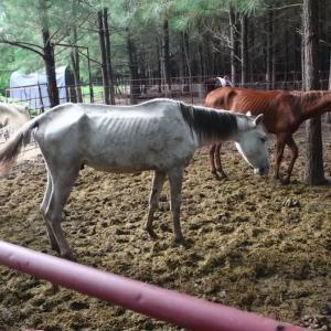 飢餓に盲目..。劣悪環境にいた150頭以上の馬たちを大規模レスキュー!