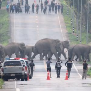 タイの高速道路を堂々と横断する野生のゾウの群れが圧巻!