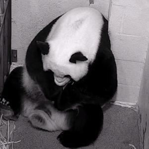 22歳の高齢出産を経てジャイアントパンダが赤ちゃんを可愛がる様子が愛おしい(アメリカ)