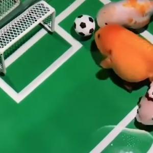 ドリブル・パス・シュートもできる!金魚のサッカーチームを作り上げた中国人男性