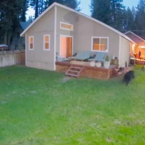 自宅の裏庭にクマ出没!猛ダッシュで家の中に逃げる犬2匹と飼い主さん
