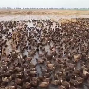 """ドローンが撮影した圧巻のアヒル1万羽の大移動!タイに伝わる""""合鴨農法""""とは?"""