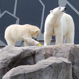 シェーンブルン動物園のホッキョクグマ、フィーニャが1歳の誕生日を迎える