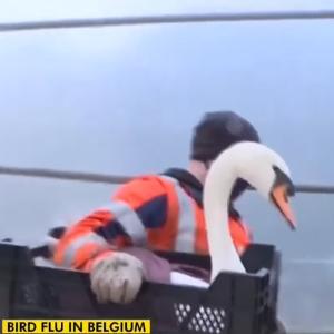 野生の白鳥もロックダウン。コロナに鳥インフルエンザに揺れるベルギー
