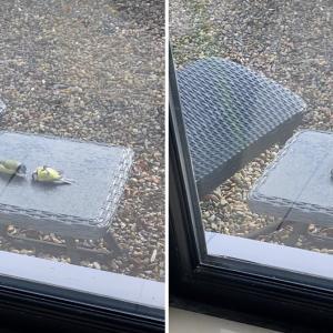 窓ガラスに衝突して失神した鳥を仲間が救出…鳥の救急救命、大成功!