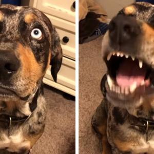 「そんなことしてないよ!」恥ずかしい話を暴露され物言いたげな瞳で反論する犬が面白い
