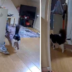 「絶対にこっちの部屋に持って行くんだー!」お気に入りのブランケットを運ぶ猫が可愛い!