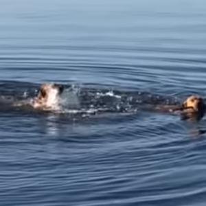 その差は歴然!泳ぎ上手とそうではないワンちゃんが湖に飛び込むと…